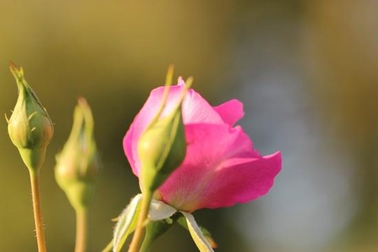 バラ ピンク.jpg