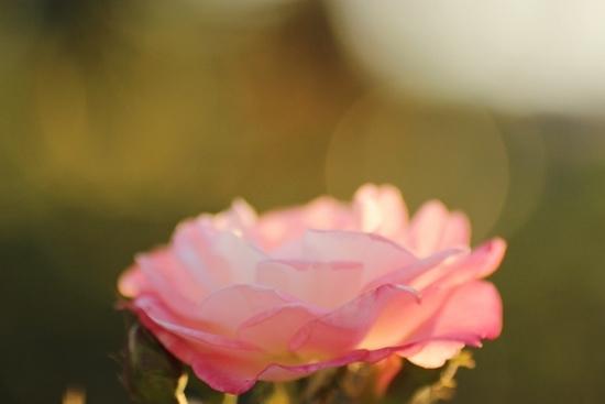 バラ 薄ピンク.jpg