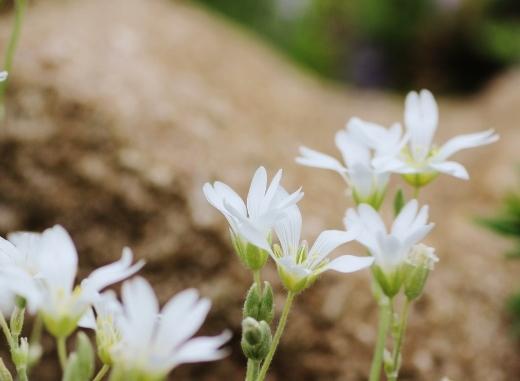 小さい白い花.jpg