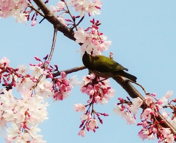 桜とメジロ1.jpg