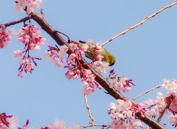 桜とメジロ2.jpg