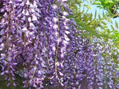 藤の花1.jpg