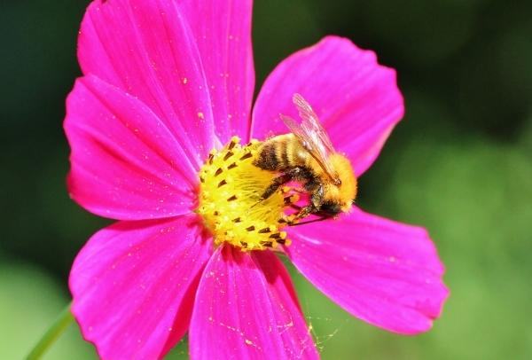 蜂とコスモス.jpg