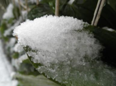 雪つもりの葉.jpg
