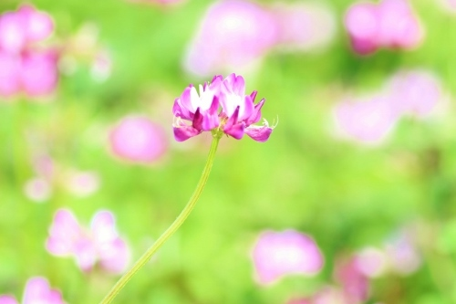 ピンクシロツメ.jpg
