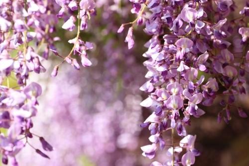 藤 紫1.jpg