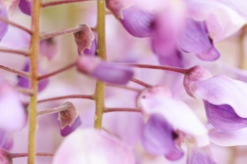 藤 紫2.jpg